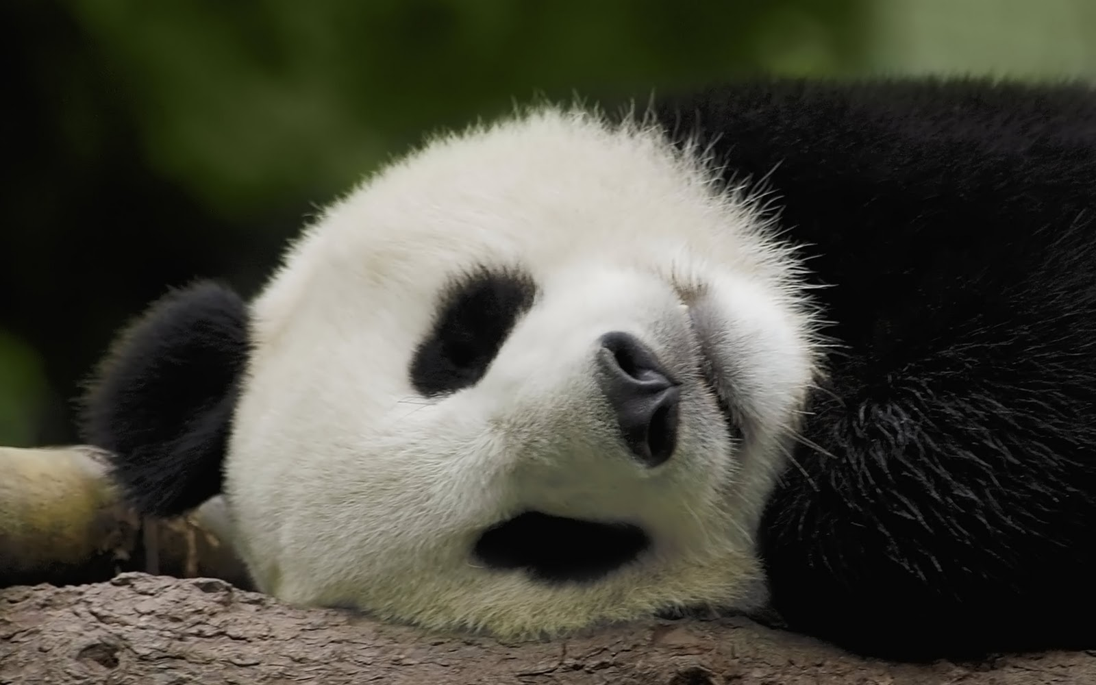 sleeping-panda-wallpaper-1920x1200-0912032